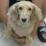 dididachshund